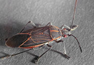 picture of boxelder bug
