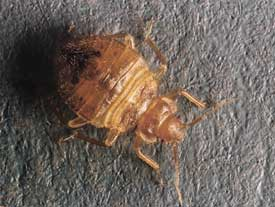 picture of bed bug larva (4th instar)