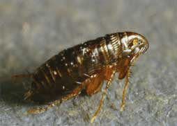 adult cat flea (original photo by Ken Gray)